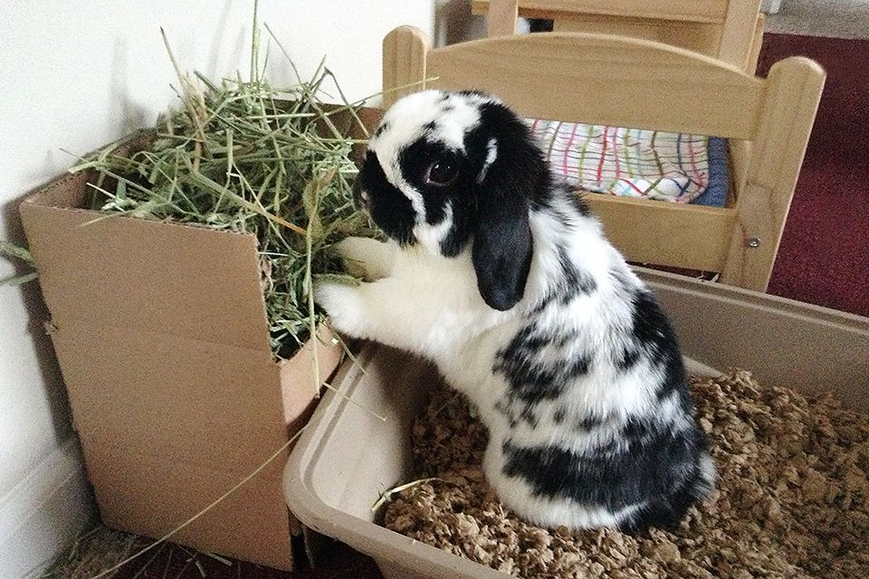 Can you Train a Rabbit to Use a Litter Box