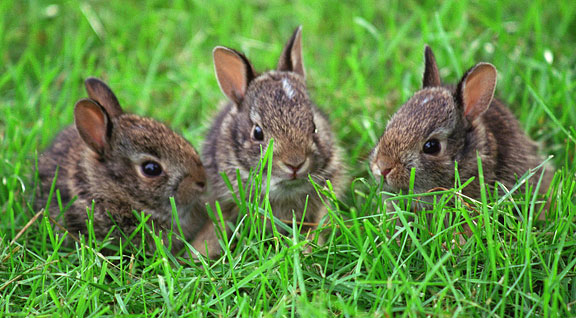 Do Rabbits Dig Holes to have Babies?