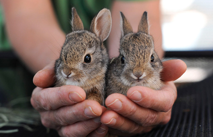 Photo of When do Baby Bunnies Leave the Nest?