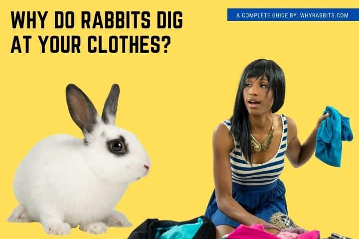 Photo of Why do Rabbits Dig at Your Clothes?