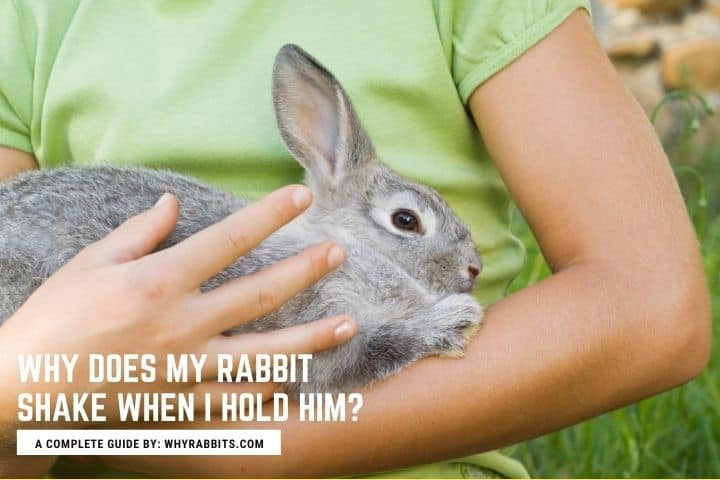 Photo of Why Does My Rabbit Shake When I Hold Him?