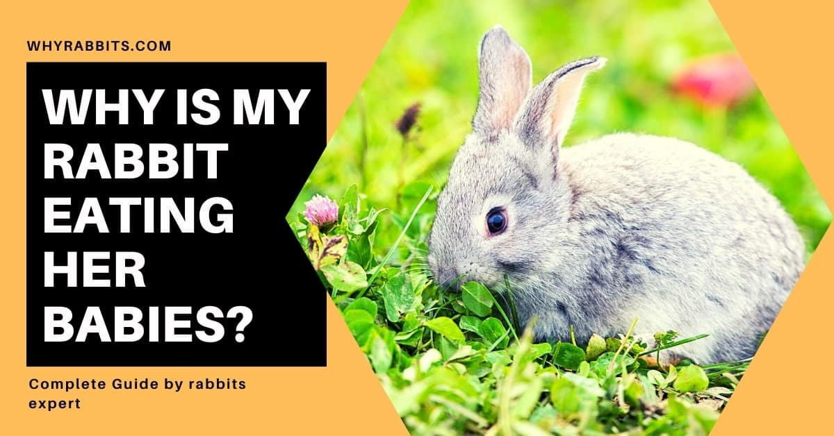 Photo of Why is my Rabbit Eating her Babies?