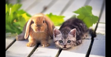 How to Introduce a Cat to a Rabbit?