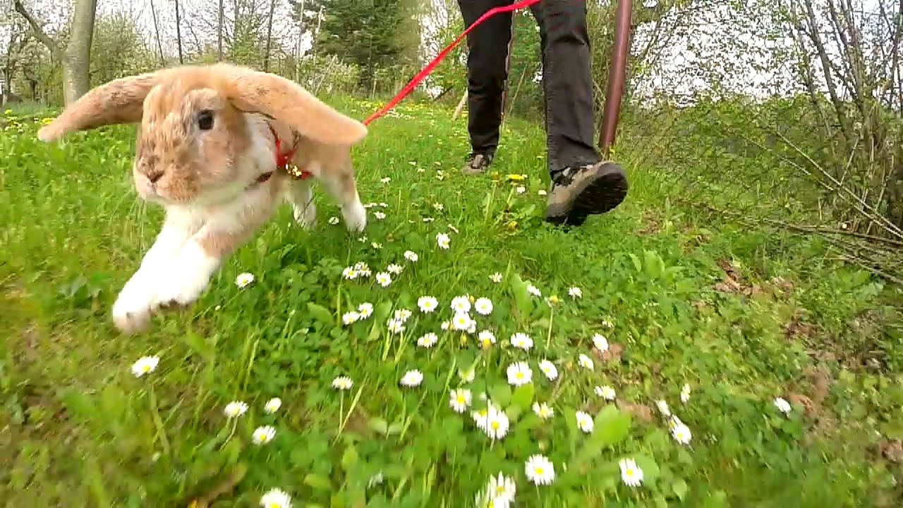 How to Train a Rabbit to Walk on a Harness?