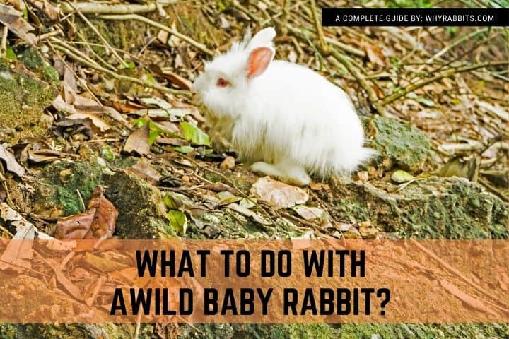 Photo of What to do with a Wild Baby Rabbit?