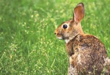 Photo of Natural Ways to Get Rid of Rabbits in the Garden