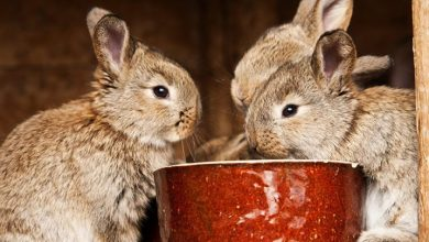 Photo of How to feed grapes to your pet rabbit?