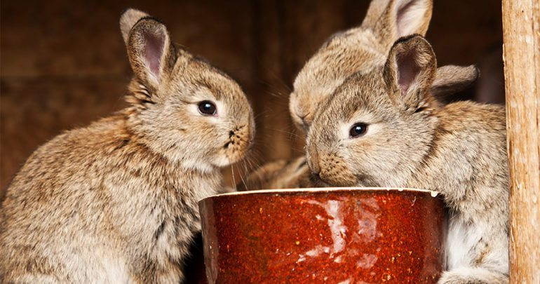 How to feed grapes to your pet rabbit?