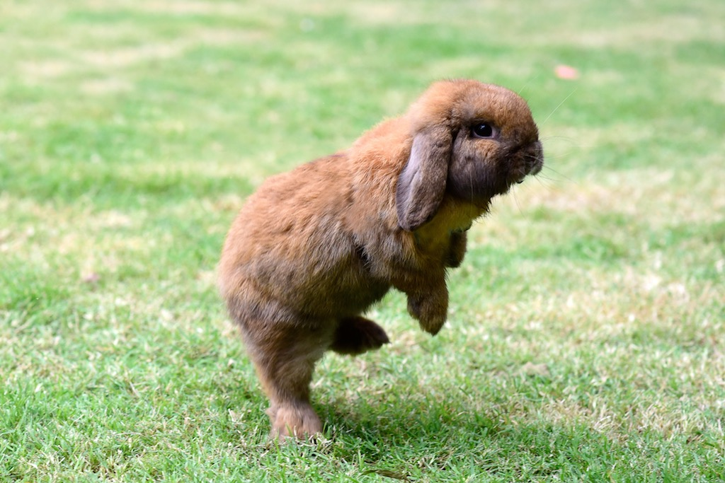 Photo of How high can a rabbit jump vertically?