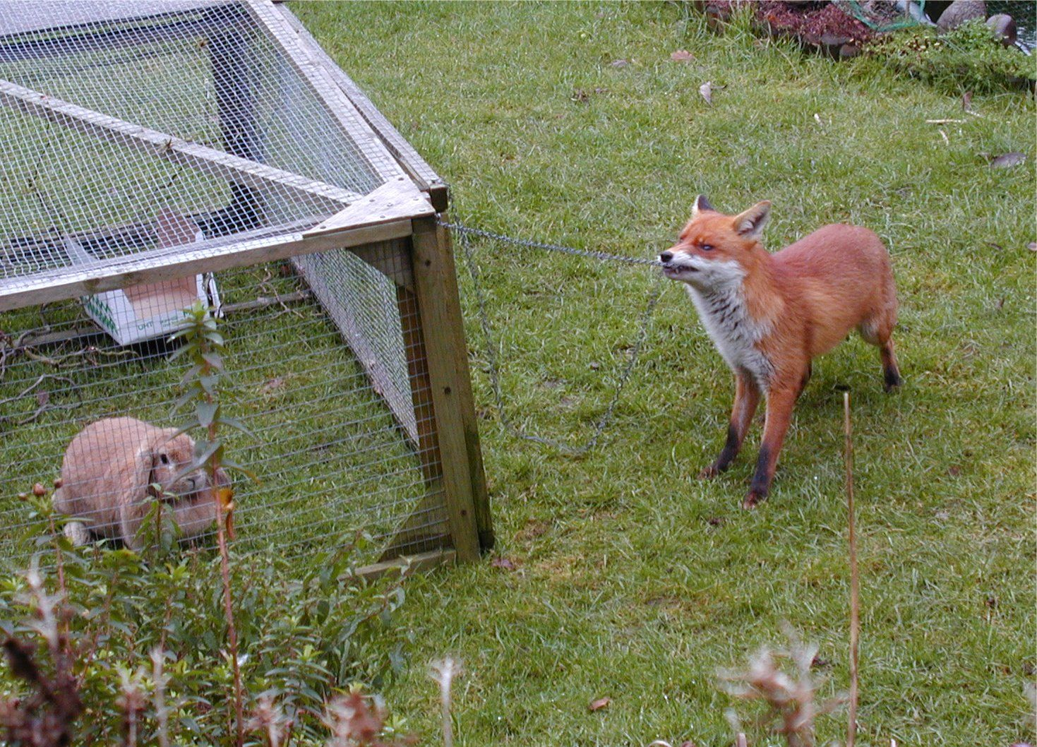 How to make your rabbit hutch safe from foxes