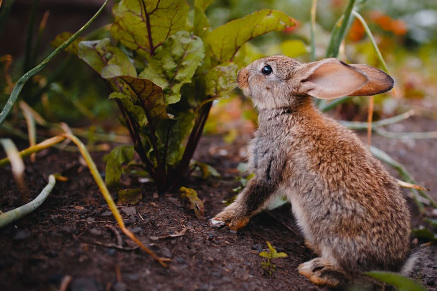 Can rabbits eat beet leaves