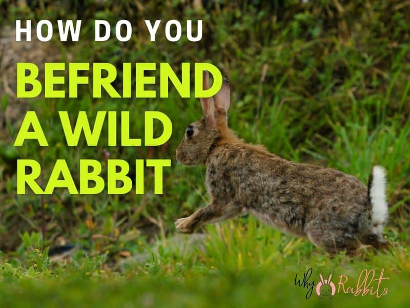 Photo of How do you befriend a wild rabbit?