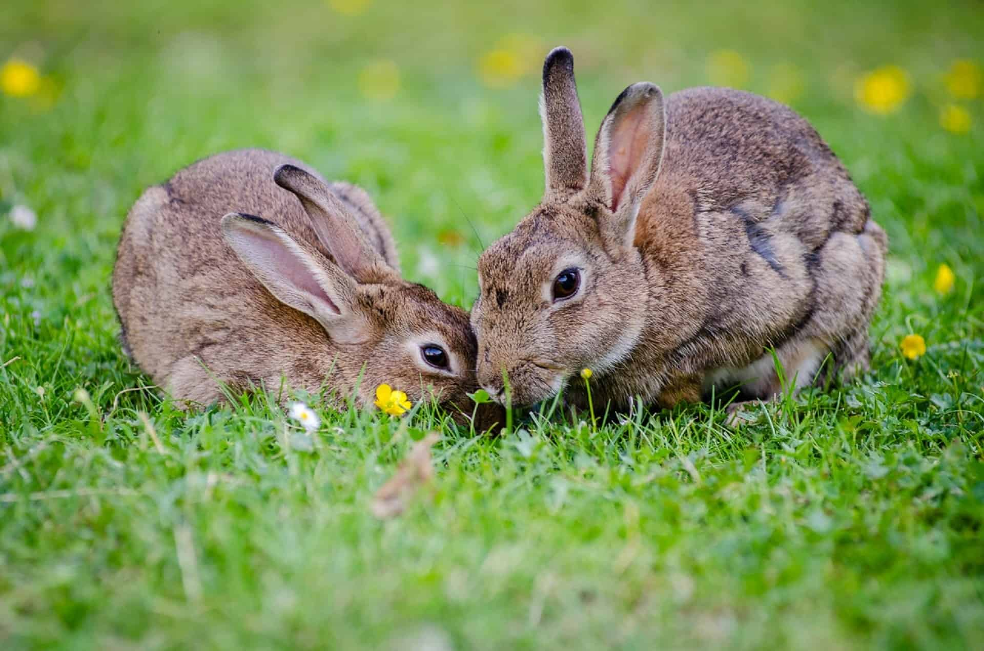 Is Rosemary safe for rabbits