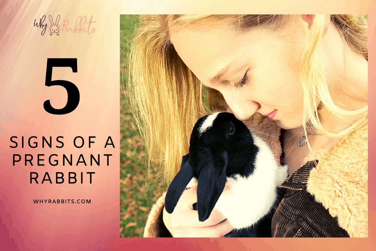 What Are the Signs of a Pregnant Rabbit