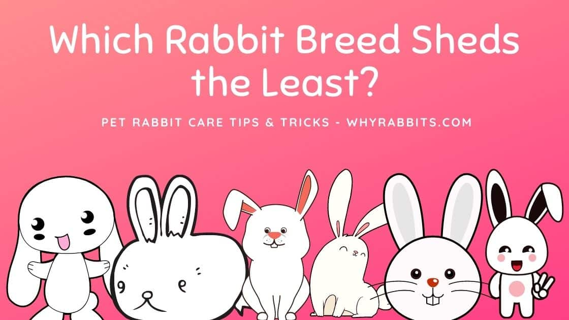 Which Rabbit Breed Sheds the Least