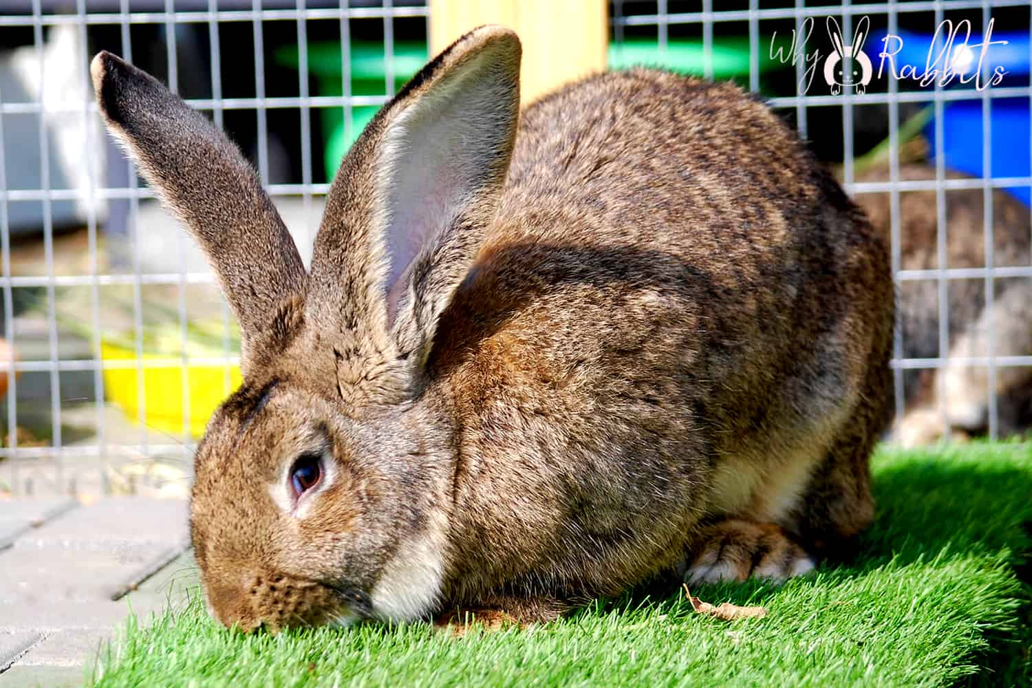 Photo of How fast can a flemish giant rabbit run?