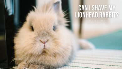 Photo of Can I shave my lionhead rabbit?