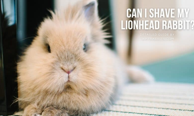 Can I shave my lionhead rabbit