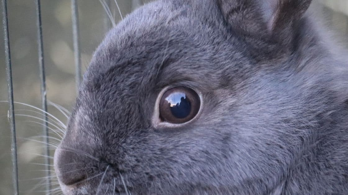 How to wash a rabbits eye