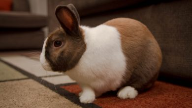 Photo of Can Snuffles in Rabbits be Cured?