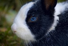 Photo of Are blue eyed rabbits deaf?