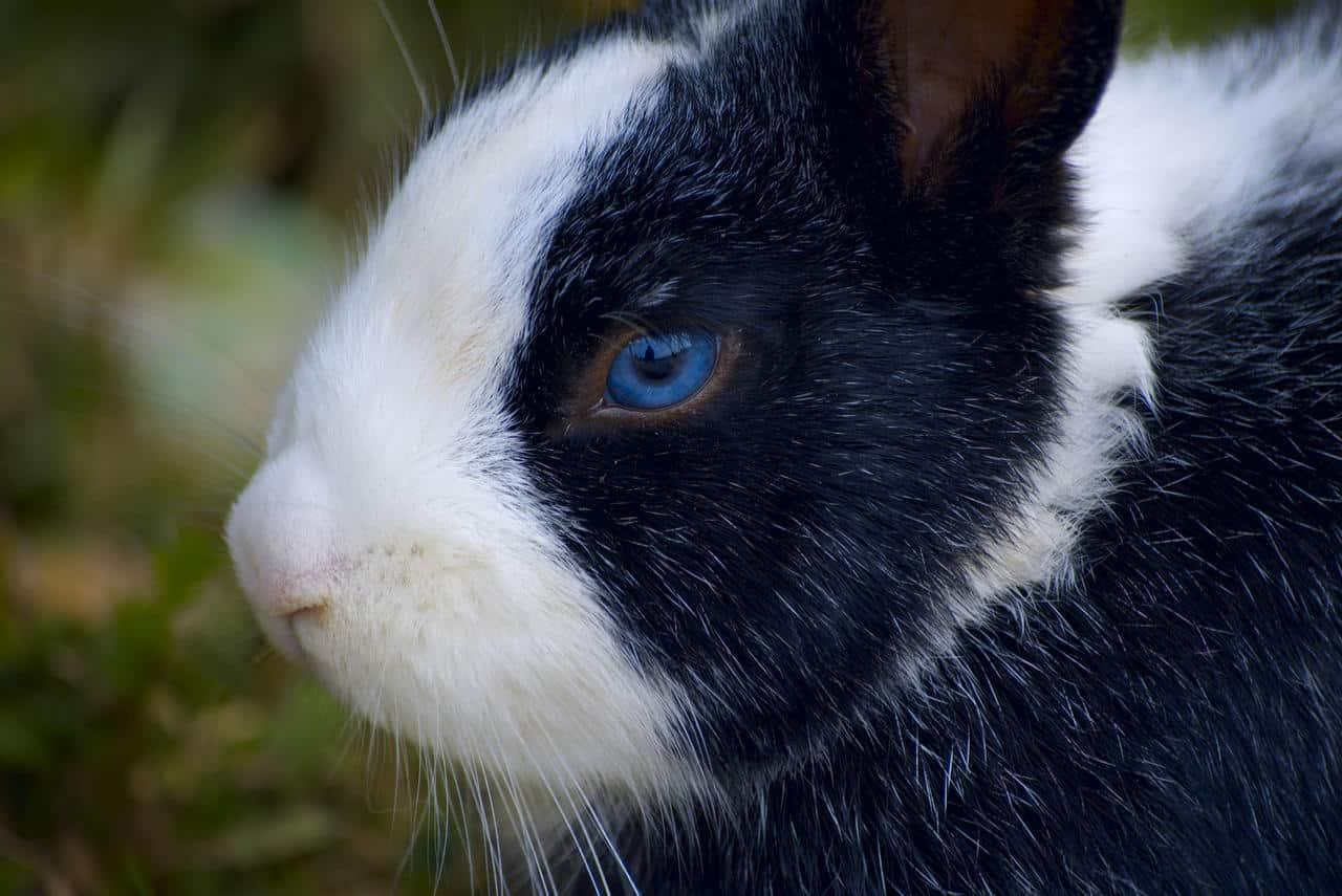 Are Blue eyed rabbits deaf