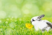 Photo of Can Rabbits Eat Dandelions