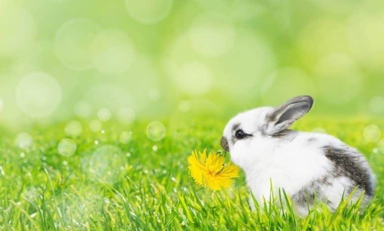 Can Rabbits Eat Dandelions