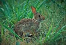 Photo of How long do eastern cottontail rabbits live