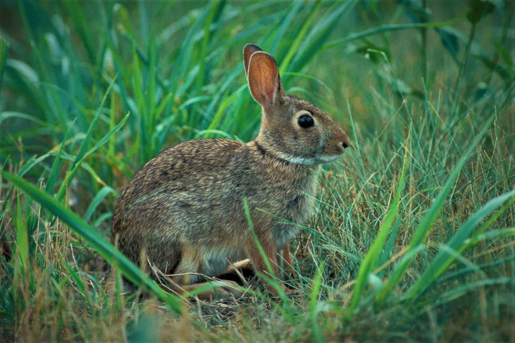 How long do eastern cottontail rabbits live