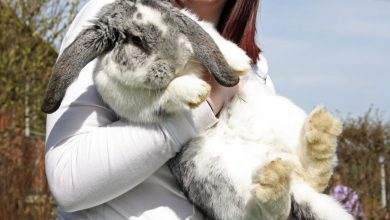 Photo of Are French Lop Rabbits Good Pets