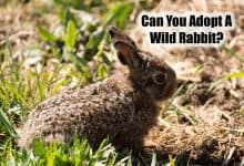 Photo of Can You Adopt A Wild Baby Bunny