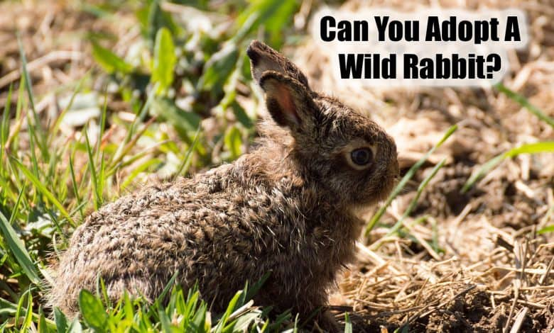 Can You Adopt A Wild Baby Bunny