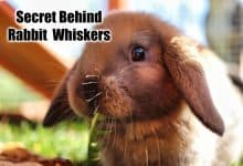 Photo of Do Female Rabbits Have Whiskers?
