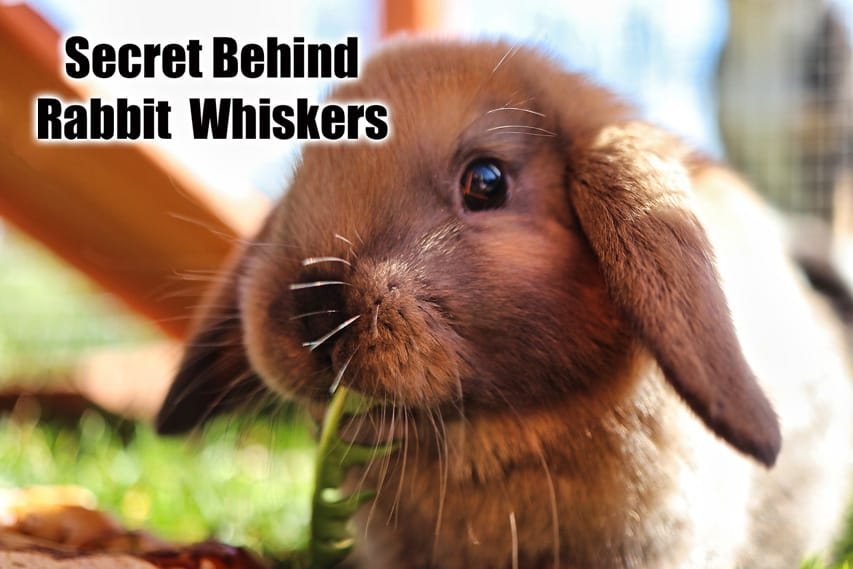 Do Female Rabbits Have Whiskers