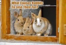 Photo of What Causes Rabbits To Lose Their Fur