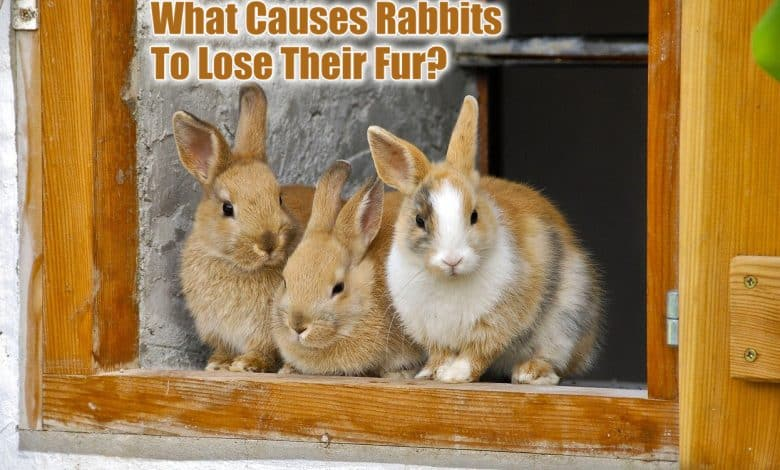 What Causes Rabbits To Lose Their Fur
