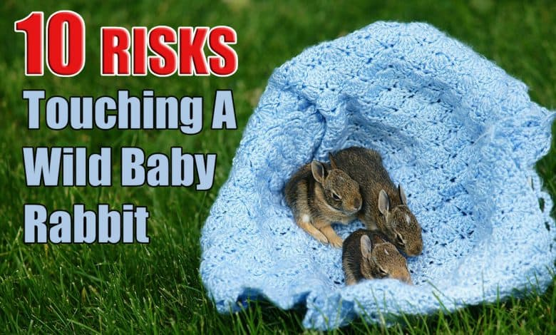 What Happens If You Touch a Wild Baby Bunny