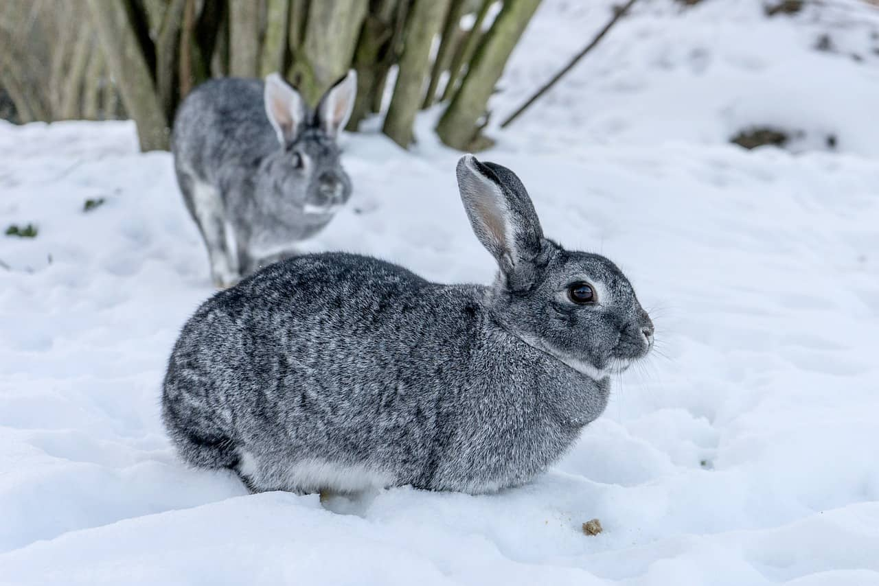 Can Rabbits Survive in Cold Weather