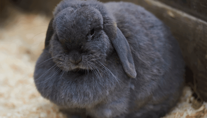 Why-Do-Rabbits-Have-a-Dewlap